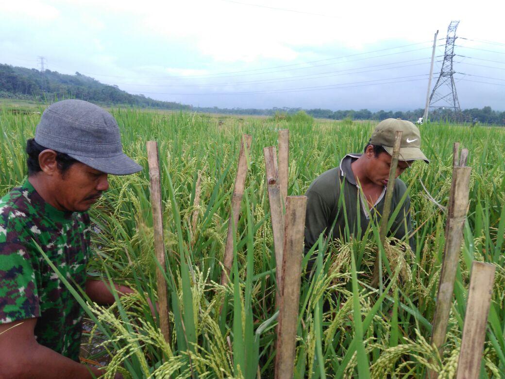 Para petani Desa Wlahar Wetan Sedang Mengamati Perkembangan Padi Organik yang Diperkirakan Panen Akhir Bulan ini