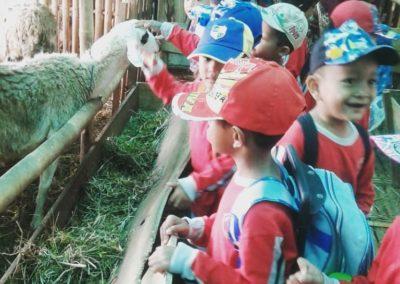 Memperkenalkan Budidaya Ternak Domba Kepada Anak Usia Dini